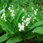 fleuriste-quimper-livraison-muguet-yveline-douguet-150x150